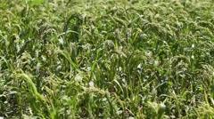 Green field of millet Stock Footage