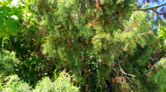Stock Video Footage of 4K, Young Common juniper, Juniperus communis tree