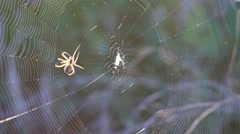 The spider weaves a web in a field at sunset Stock Footage
