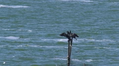 Cormorants in characteristic wing-drying pose on a fishnet pole Stock Footage