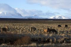 Herd of Icelandic horses on a meadow in evening light - stock photo