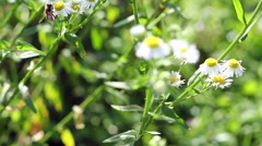 Bee pollinating daisy flower Stock Footage