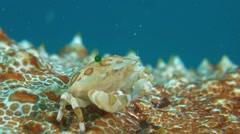 Swimming Crab Stock Footage