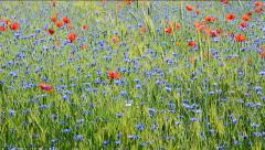 Field with cornflowers and red poppies. Panorama - stock footage