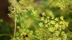 Red Beetles Bugs Coleoptera Mating On Dill Flower, Pan Stock Footage
