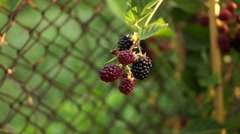 A Shrub With A Bunch Of Blackberry(Rubus Genus), Pan - stock footage