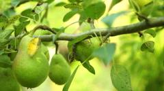 Unripe Pears On A Tree, Pan Stock Footage