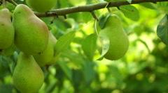 Unripe, Organic Pears On A Tree, Pan Stock Footage