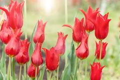 Beautiful red tulips growing in the flowerbed Stock Photos