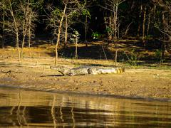 Alligator lying on a river bank - stock photo