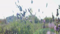 Lavander cutting in the field Stock Footage