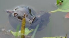 Giant apple snail and water hyacinth Stock Footage