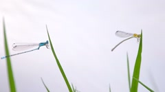 Two damselflies resting on the grass shoot Stock Footage