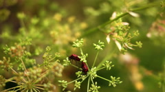 Red Beetles Bugs Coleoptera Mating Game On Dill Flower Stock Footage