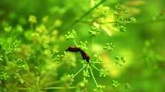 Red Beetles Bugs Coleoptera In Love On Dill Flower - stock footage