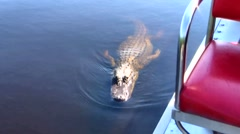 Wild Alligator Approaching Airboat Expecting Food, Everglades, Florida Stock Footage