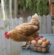 A Warren Chicken and clutch of fresh eggs in a wire basket Stock Photos