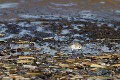Sanderling (Calidris alba) - stock photo