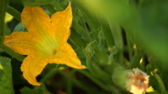 Courgette Flower Stock Footage
