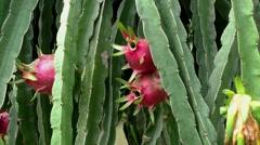 Dragon Fruit Pitaya Stock Footage