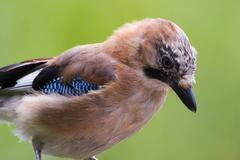 Jay ( Garrulus glandarius ) - stock photo