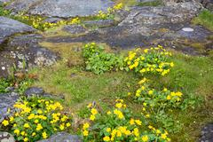 Caltha palustris or marsh marigold or kingcup Stock Photos