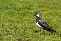 Lapwing (Vanellus-vanellus) - stock photo
