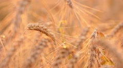 4k, ripe ears of wheat in the sunset 1 - stock footage