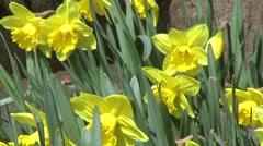 Daffodil flowers in sunlight Stock Footage