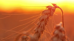 4k, ears of wheat at sunset, close up 3 - stock footage