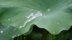 Water drop on the lotus leaf Stock Footage