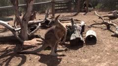 Kangaroo Hopping Stock Footage