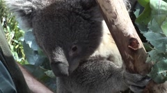 Koala bear being handled by zoo keeper - stock footage