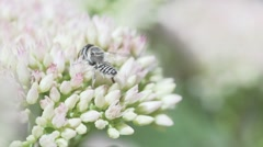 Bee On Flowers Collects Nectar In Flowers At Garden Slow Motion Macro Stock Footage