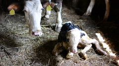 Mother and baby cow in stable Stock Footage