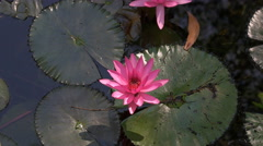 Water lily flower close up Stock Footage