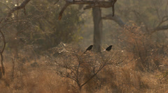 Two clip combo of two Fork-tailed Drongo birds sitting on a branch Stock Footage