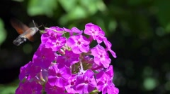Hyles Butterfly fights with a mantis and Collects Nectar on flowers Slo-Mo Stock Footage