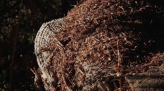 Ant Hill on Tree Trunk - stock footage