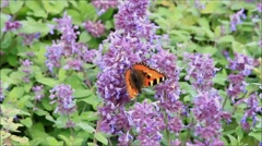 Admiral Butterfly on purple lilac, butterfly tree Stock Footage