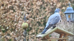 Dove sitting on birdhouse in the garden in winter Stock Footage