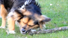 Young dog playing with a wooden stick on the meadow Stock Footage