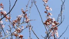 Blossom, Prunus cerasifera (Blutpflaume), flowers in springtime Stock Footage