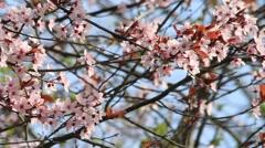 Stock Video Footage of blossom, Prunus cerasifera (Blutpflaume), flowers in springtime