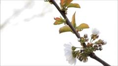 Cherry blossom, cherry tree, blossom branch, spring Stock Footage