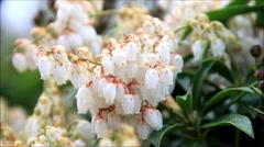 Flower blossom, pieris japonica, april, garden, springtime Stock Footage