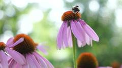 Stock Video Footage of Bumble-bee Feeds On Nectar Purple Coneflower (Echinacea Purpurea)