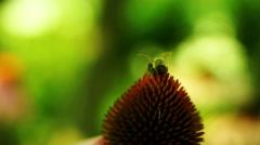Honey-bee Feeds On Nectar Purple Coneflower (Echinacea Purpurea) Stock Footage