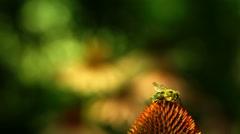 Stock Video Footage of Honey-bee Feeds On Nectar Purple Coneflower (Echinacea Purpurea)