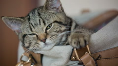 Kitty closing eyes sleeping in woman purse close up Stock Footage